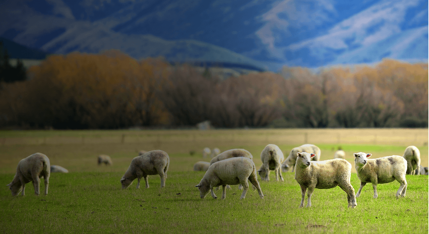 Grazing Sheep Background